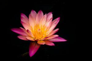 欲望という沼に蓮の花は咲く