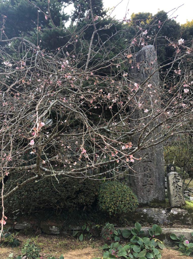 四国八十八箇所第65番札所の寒桜たち