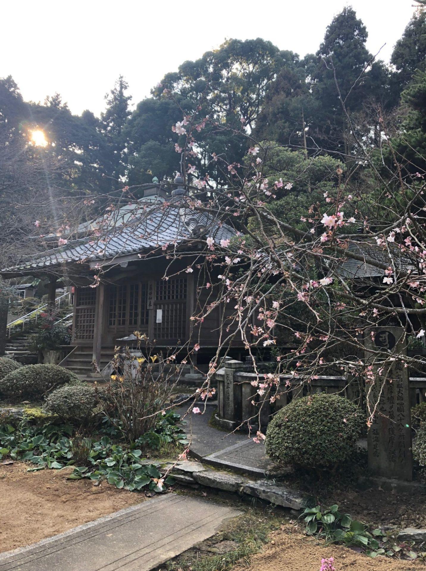 四国八十八箇所第65番札所の寒桜