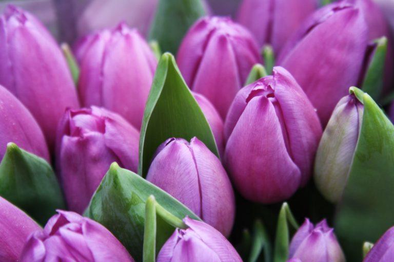 紫のチューリップの花言葉