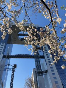 昨日は名古屋、今日は大阪の桜